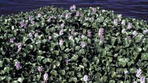HYACINTH_OCT03_MAIN.jpg