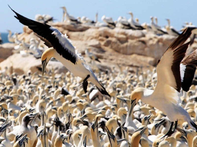 Cape gannets feeding their young at Lambert's Bay, South Africa