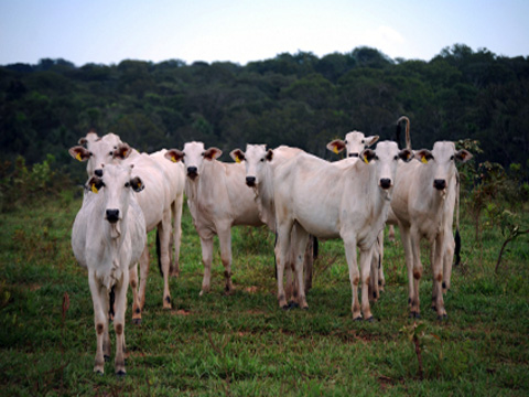 Cattle in a deforested area of the Amazon