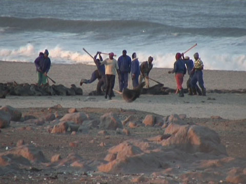 Hunters clubbing seals to death in Namibia