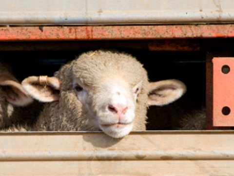 Sheep in a lorry