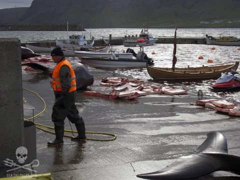 Stranded whales in the 2014 'grind' on the Faroe Islands reduced to butchered meat. Photo: Sea Shepherd.
