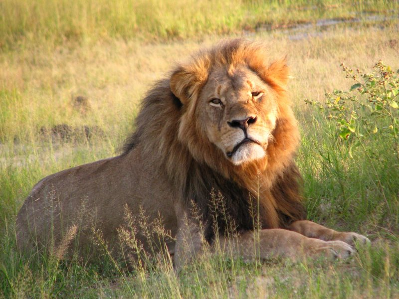 Cecil the lion, photographed in April 2010 in Hwange National Park, Zimbabwe. Photo: Daughter#3 via Flickr (CC BY-SA).