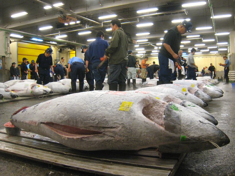 Frozen tuna at the early morning fish auction at the Tokyo Fish Market. Many of the tuna sold here are of endangered species such as bluefin and bigeye. Photo: Scott Lenger via Flickr (CC BY-NC-ND).