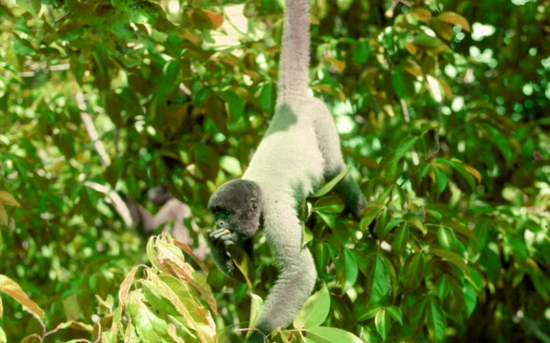 An Amazonian Grey woolly spider monkey feeding in the treetops. As a important seed disperser, it is essential to the forest ecology - and its capacity to store carbon. Photo: UEA.