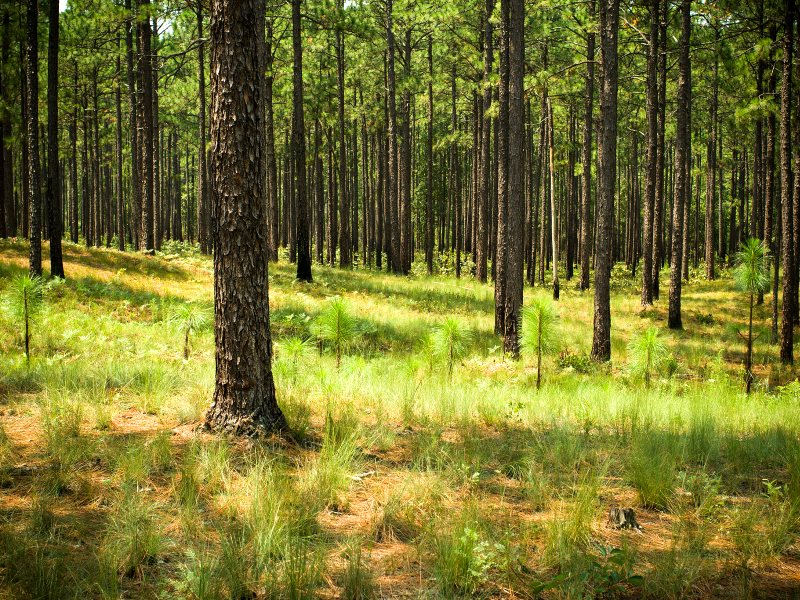Longleaf Pine Regeneration in South Carolina. Photo: Justin Meissen via Flickr (CC BY-SA).