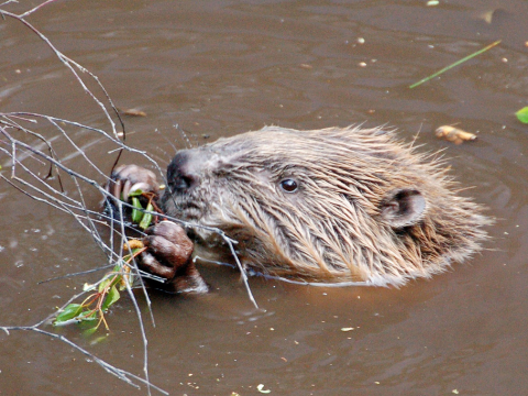 A beaver in Scotland, where they are being re-introduced. Photo: Paul Stevenson via Flickr.com.