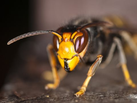 The Asian hornet is a voracious predator of bees - as if they were not suffering enough already! Photo:  Danel Solabarrieta, CC BY-SA.