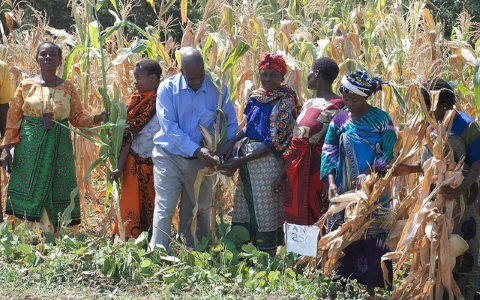 Famers in Sokoine, Tanzania, examine a drought tolerant maize variety developed by the nationally-owned seed company Tanseed International Limited. Photo: International Maize and Wheat Improvement Center via Flickr.