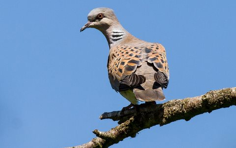 The Turtle Dove (Streptopelia turtur) has declined by 88% since 1995, due to multiple causes: habitat loss in Africa; disease in its UK breeding grounds, and hunting between the two. Photo: Alan Shearman via Flickr.