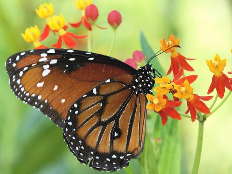 With milkweed and other 'weeds' now facing the dual chemical assault of glyphosate and 2,4-D, what hope for the Monarch butterfly?