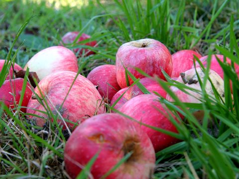 Organic apples from the tree. Photo: Veronica Olivotto via Flickr.