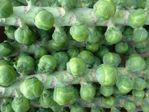 No neonics here: organic Brussels sprouts from Home Farm, Nacton. Photo: Nick Saltmarsh via Flickr.