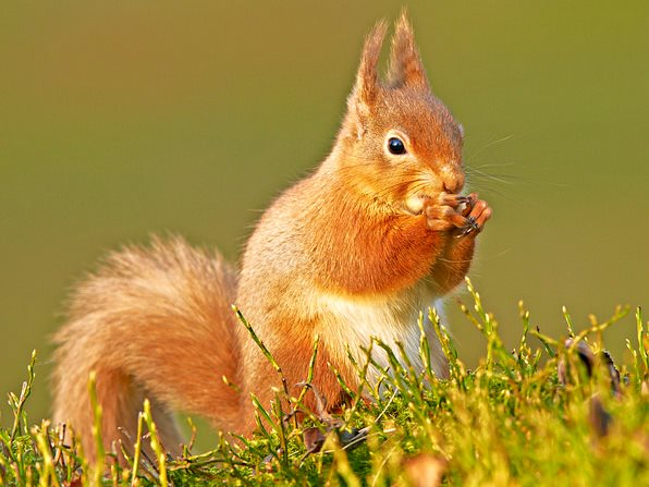 A rare red squirrel that has survived the depradations of the invasive North American grey squirrel, near Aviemore in the Scotland's Cairngorm mountains. Photo: Peter G W Jones via Flickr (CC BY-ND 2.0).