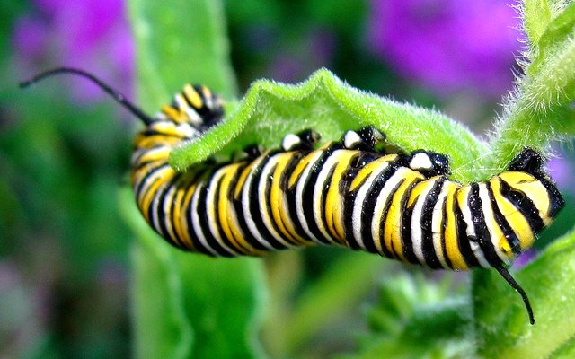 Monarch butterfly (Danaus plexipus) caterpillar feeding on butterflyweed (Asclepias tuberosa), a relative of milkweed. Photo: Martin LaBar via Flickr (CC BY-NC).