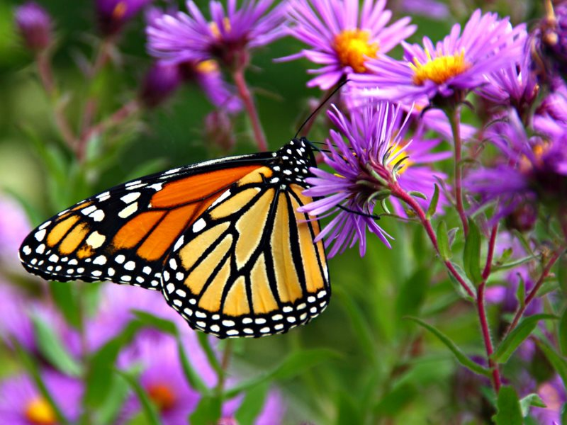 The Monarch butterfly has become an icon of the anti-GMO movement following the species' population collapse in North America - poisoned by 'Bt' GMO crops and starved out by the the destruction of its food plants by massive application of glyphosate on 'r
