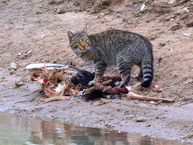 Culling feral cats on Tasmania, similar to this one by the Rufus River in NSW - actually made them more abundant, not less. Photo: sunphlo via Flickr (CC BY-NC-SA).