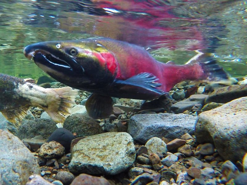 'We are people who no longer hope salmon survive, but will do whatever it takes to stop their extinction.' Coho Spawning on the Salmon River. Photo: Bureau of Land Management Oregon and Washington via Flickr (CC BY).
