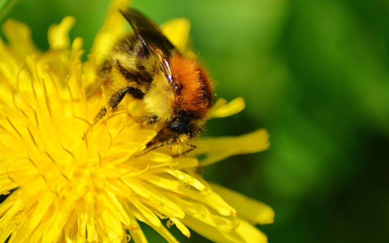 One of the lucky ones: bumblebee on dandelion at Altenhagen, Hagen, North Rhine-Westphalia, Germany. Photo: Jakob Stitz via Flickr (CC BY-NC-SA).