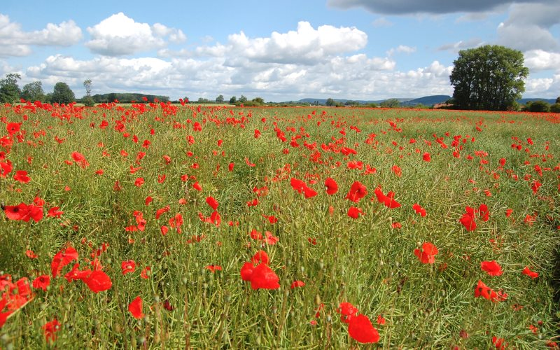 Weeds in farmers' crops - like these poppies in an oilseed rape field near Thirsk - may reduce profit margins - but they are hardly a 'serious danger to plant health'. Photo: James West via Flickr (CC BY-SA).