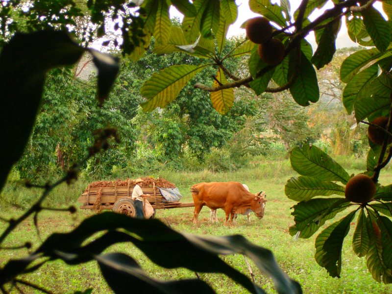 Traditional agriculture on a farm in Cuba, where organic and agroecological farming now produce most of the nation's food. Photo: Tach_RedGold&Green via Flickr (CC BY-SA).