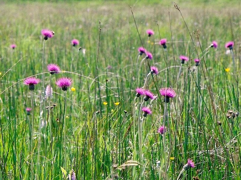 Could your household gas come from wildflower rich meadows, like this Culm Grassland at Knowstone Moor, Devon? Photo: Col Ford and Natasha de Vere via Flickr (CC BY).