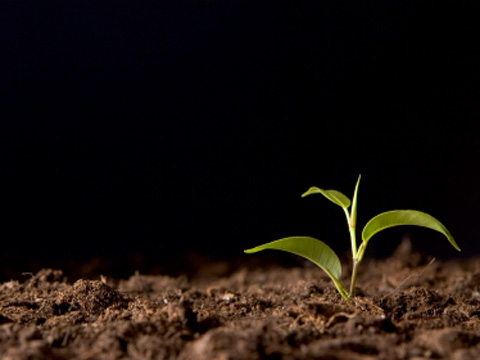 A seedling pushes through the earth