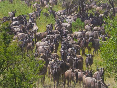 Migrating wildebeest