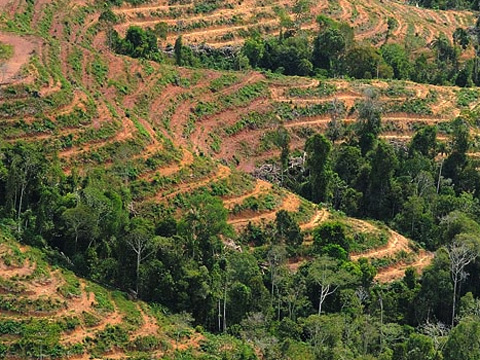 Landscape devastated by palm oil
