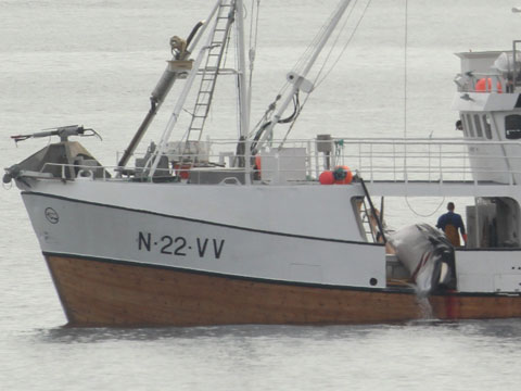 Norwegian whale hunt