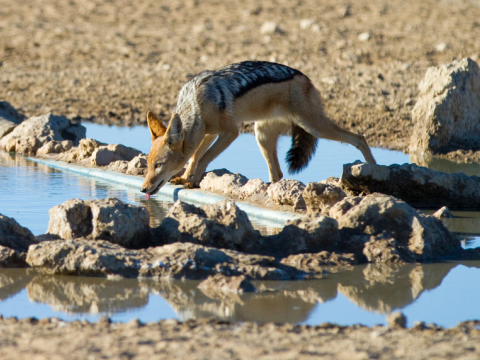 A black-backed jackal leaning over to drink from a waterhole in the Kalahari Desert. Photo: Villiers Steyn / shutterstock.com.