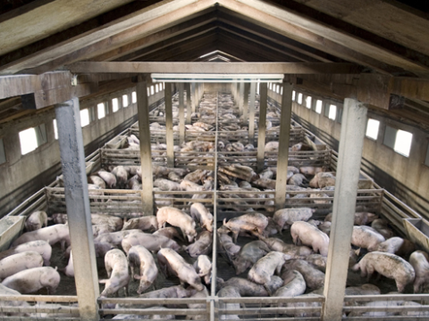 Intensive pig farm: a ripe environment for infections to spread. Photo: Pig Business - www.bigbusiness.co.uk.