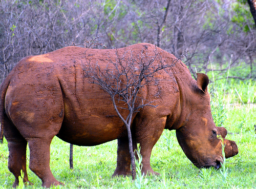 White rhino with horn removed to reduce value to poachers near Ohrigstad, Limpopo, South Africa. Photo: Paolo via Flickr.com.