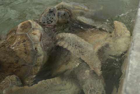 Densely-packed turtles in the Cayman turtle farm. Photo: © Catherine Mason.