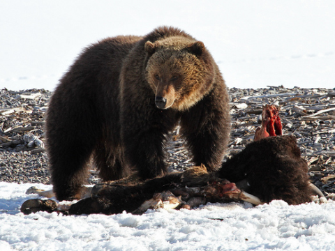Grizzly bear with bison carcass, Yellowstone National Park. Photo: YellowstoneNPS via Flickr.com.