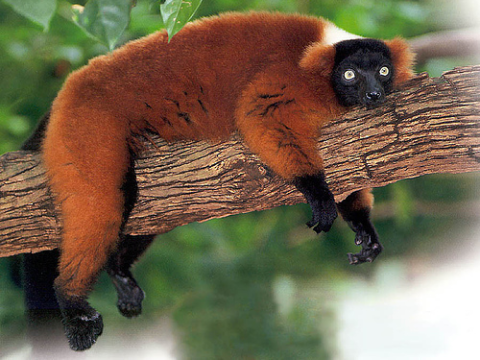 An endangered Red ruffed lemur (Varecia variegata ruber) in Madagascar. Photo: Ronald McGuire via Flickr.com.