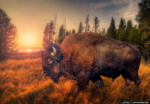A Yellowstone bison roaming the wilderness. Photo: Captain Kimo via Flickr.com.