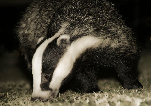 A badger out hunting for worms. Photo: Andrea via Flickr.com.