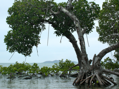 Mangrove. Photo: Vincent Chaigneau via Flickr.com.