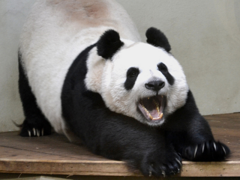 Too sexy for my shirt? Tian Tian yawning at Edinburgh Zoo. Photo: gavin proc via flickr.com.