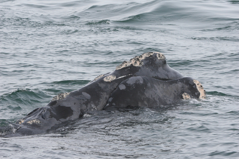 North Atlantic Right whale three miles off Ponte Vedra Beach, FL on February 21, 2013. Photo: Florida Fish and Wildlife Conservation Commission via Flickr.com.