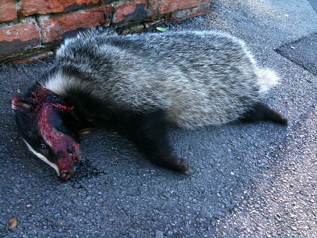 Unscrupulous cull contractors were adding badger roadkill to their bags. But it gets a lot worse than that.  Photo: Victoria Chan via Flickr.com.
