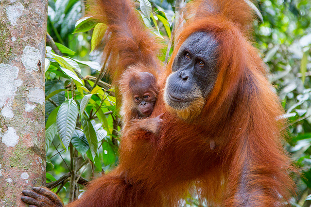 Orangutans - mother and child - in the Indonesian rainforest. Photo: Paul Williams via Flickr.com.