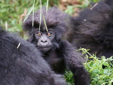 Baby Mountain Gorilla, Virunga National Park. Photo: Bradford Duplisea - www.duplisea.ca.