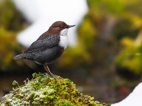 European Dipper (Cinclus cinclus) near a waterfall in the Carpathian mountains. Photo: Irene Mei via Flickr.