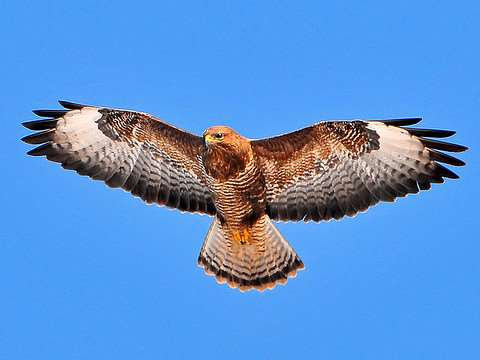 A buzzard in flight, photographed by Tambako The Jaguar. Via Flickr.com.