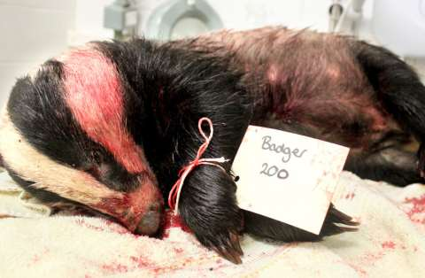 The bloodied corpse of badger 200, whisked away before it could be retrieved by cullers and subjected to a post-mortem that showed it had been shot in the wrong place and suffered a slow and painful death.