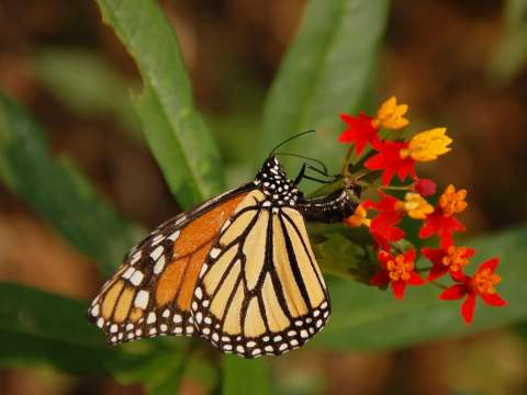 a female Monarch Butterflyen (Danaus plexippus) laying an egg on a Mexican Milkweed (Asclepias curassavica ) at the Tyler Arboretum. Photo: © Derek Ramsey via Wikimedia.