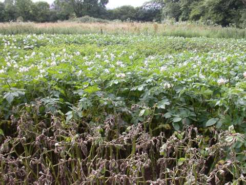 Trial at Glyn Farm, Anglesey, 2007: foreground - susceptible; background - Sarpo clone. Photo: Sarvari Trust.