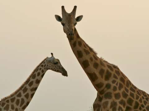 Fewer than 400 West African giraffes survive. Photo: Giraffe Conservation Foundation.